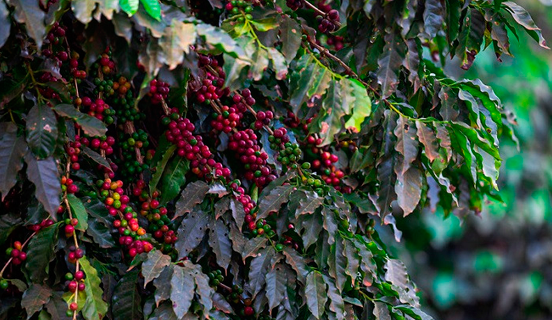 CNA and Invest SP analyze the Chinese market for Brazilian coffee